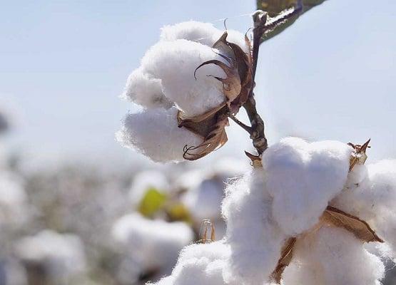 agriculture-assurance-indicielle-coton